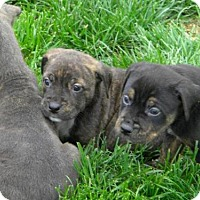 Adopt A Pet :: Puppies - Lancaster, PA
