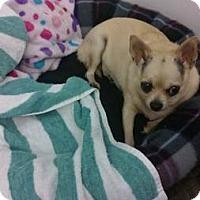 Adopt A Pet :: Applehead Chihuahua - Lomita, CA