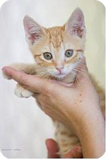 Domestic Shorthair Kitten for adoption in Plano, Texas - Broderick