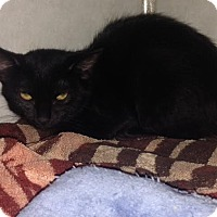 Domestic Mediumhair Kitten for adoption in Cashiers, North Carolina - Louise