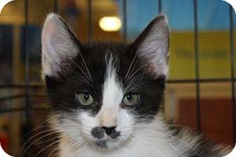 Domestic Shorthair Kitten for adoption in Louisville, Kentucky - Touche