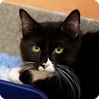 Adopt A Pet :: Figaro - Kettering, OH