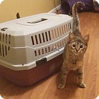 Domestic Shorthair Kitten for adoption in Maryville, Missouri - Nona