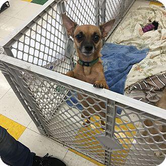 Chihuahua Mix Dog for adoption in Joliet, Illinois - Raina