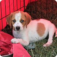Adopt A Pet :: PUPPY BOURNE - richmond, VA