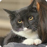 Domestic Shorthair Kitten for adoption in East Hartford, Connecticut - Sissy