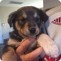 Adopt A Pet :: Reddy - Las Vegas, NV