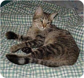 Domestic Shorthair Cat for adoption in Houston, Texas - Moonjava