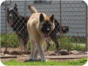 Akita/German Shepherd Dog Mix Dog for adoption in Barron, Wisconsin - Axle