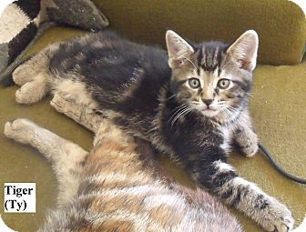 Domestic Shorthair Kitten for adoption in Huntsville, Ontario - Tiger (Ty) - Born in May!