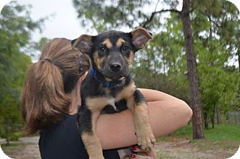 German Shepherd Dog/Corgi Mix Puppy for adoption in Weeki Wachee, Florida - rex