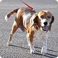 Adopt A Pet :: Kallie - Phoenix, AZ