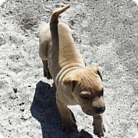 Adopt A Pet :: Puppy...Rocher - ....., FL
