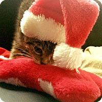 Adopt A Pet :: Miso Snuggly - Chapel Hill, NC