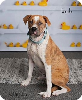 Boxer/Shar Pei Mix Dog for adoption in Phoenix, Arizona - Gordo