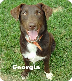 Labrador Retriever/Hound (Unknown Type) Mix Dog for adoption in Mountain View, Arkansas - Georgia