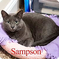 Domestic Shorthair Cat for adoption in Baltimore, Maryland - Sampson