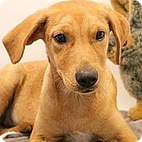 Labrador Retriever Mix Puppy for adoption in Glastonbury, Connecticut - Julie~ meet me!
