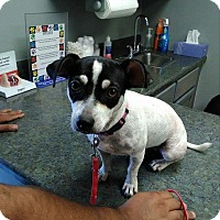 Jack Russell Terrier/Chihuahua Mix Dog for adoption in Mesa, Arizona - Angel