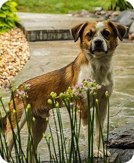Terrier (Unknown Type, Medium)/Australian Shepherd Mix Dog for adoption in St Louis, Missouri - Shy