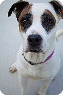 Hound (Unknown Type)/Boxer Mix Dog for adoption in Prince George, Virginia - Pearl