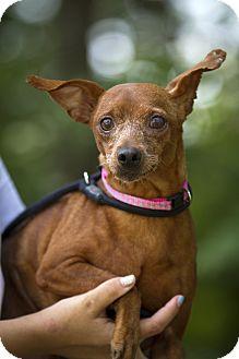 Miniature Pinscher Dog for adoption in Holland, Ohio - Iris