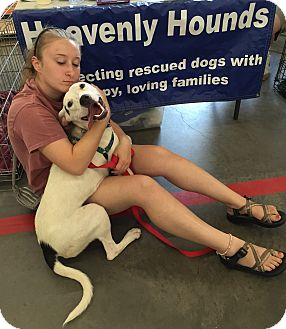 Hound (Unknown Type)/Pit Bull Terrier Mix Dog for adoption in Chesterfield, Virginia - Freedom
