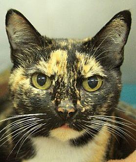 Domestic Shorthair Cat for adoption in Savannah, Missouri - Kiki