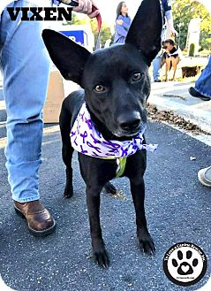 Shepherd (Unknown Type) Mix Dog for adoption in Kimberton, Pennsylvania - Vixen
