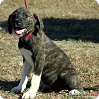Bullmastiff/Great Pyrenees Mix Puppy for adoption in PRINCETON, Kentucky - Lily