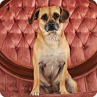 Adopt A Pet :: Zuzu - Las Vegas, NV