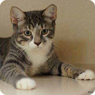 Domestic Shorthair Cat for adoption in East Hartford, Connecticut - Ashes