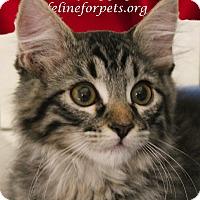 Adopt A Pet :: A Kitten Boy: SPORT - Monrovia, CA