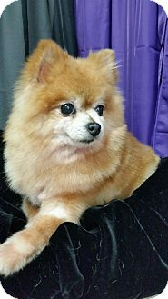 Pomeranian Dog for adoption in REDDING, California - Precious