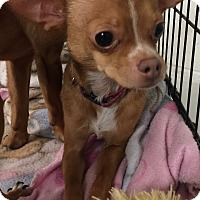 Chihuahua Puppy for adoption in Oswego, Illinois - Tiny Tim
