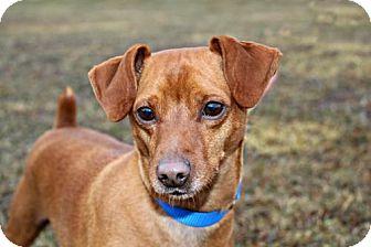 Miniature Pinscher Dog for adoption in Dillsburg, Pennsylvania - Brownie