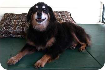 Bernese Mountain Dog/Shepherd (Unknown Type) Mix Dog for adoption in san diego, California - MAGGIE