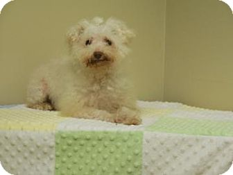 Bichon Frise/Poodle (Miniature) Mix Dog for adoption in Gary, Indiana - Barb