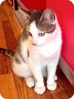 Domestic Shorthair Kitten for adoption in Brooklyn, New York - Billy