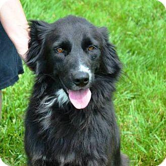 Fiona   Adopted Dog   K18   Indianola, IA   Border Collie ...