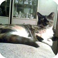 American Shorthair Kitten for adoption in New York, New York - Grace
