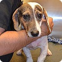 Adopt A Pet :: Dulce - Houston, TX