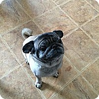 Adopt A Pet :: Nugget - Huntingdon Valley, PA