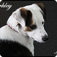 Adopt A Pet :: Barkley - Rockwall, TX