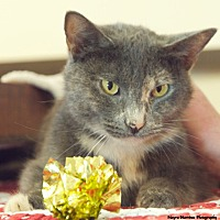 Domestic Shorthair Cat for adoption in Huntsville, Alabama - Twinkle