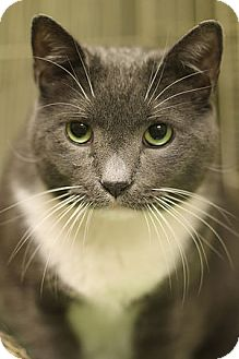 Domestic Shorthair Cat for adoption in Norwalk, Connecticut - Sparky