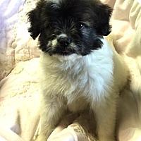 Adopt A Pet :: Sweet Pea - Los Angeles, CA
