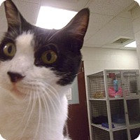 Domestic Shorthair Cat for adoption in Muscatine, Iowa - Rainbow