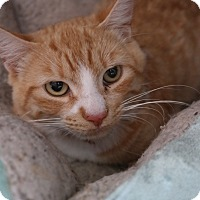 Domestic Shorthair Cat for adoption in San Pablo, California - RUSTY