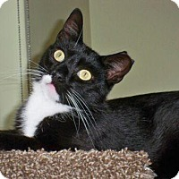 Domestic Shorthair Cat for adoption in Brooklyn, New York - Sibi